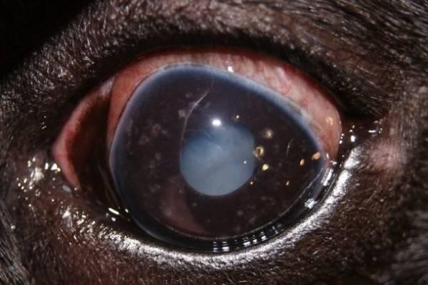 Как лечить кератит у собак